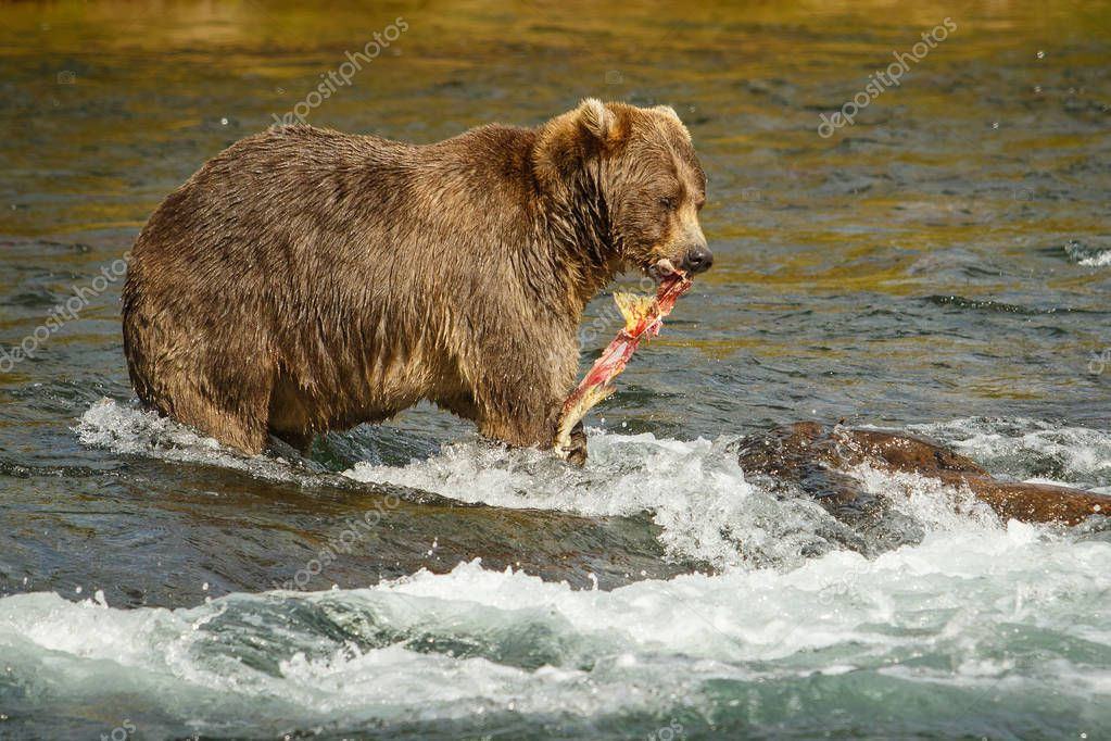 Mama-bear with catched salmon fro her babies, Alaska
