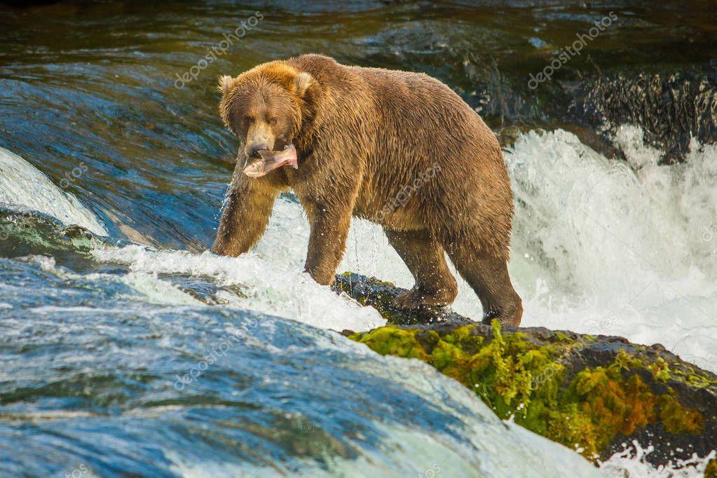 Alaskan bear with catched fish on Brooks falls, Katmai National Park, Alaska
