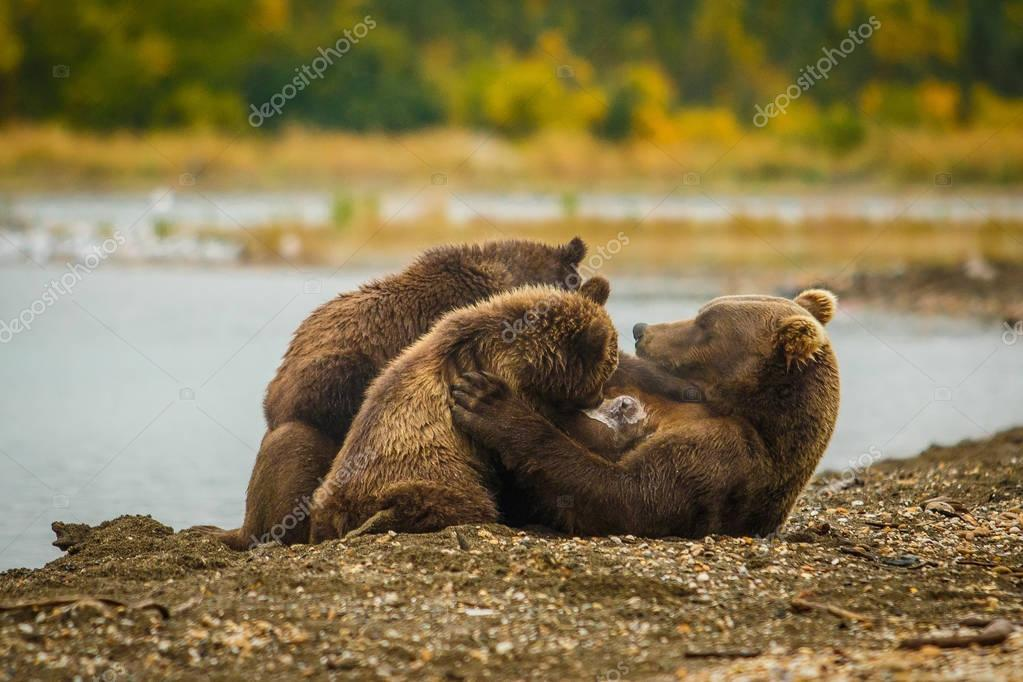 Mama-bear milking her two cubs in Brooks falls, Alaska