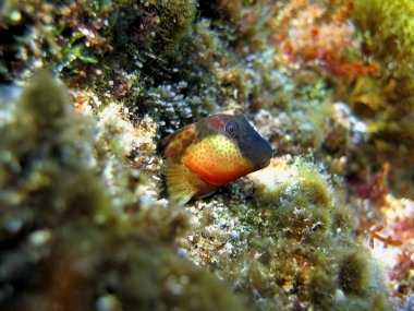 Lipophrys canevae fish