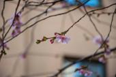 růžové květy na větvi