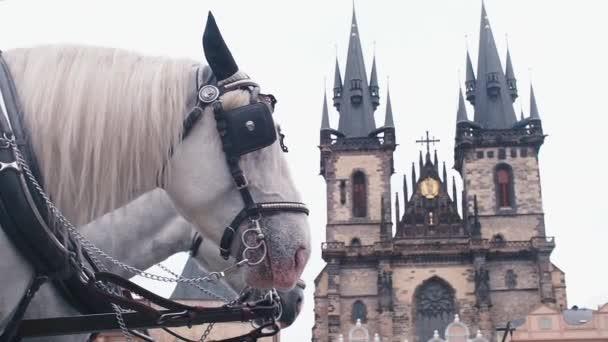 Bílí koně spoutaní. Postavte se na pozadí hradu.