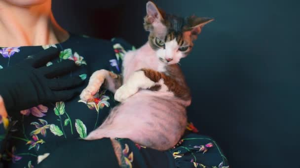 Detailní záběr Devon Rex kočka v náručí dívky v černých šatech.
