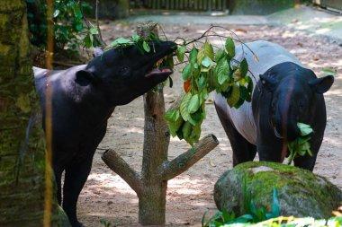 Of wild tapir eat grass image