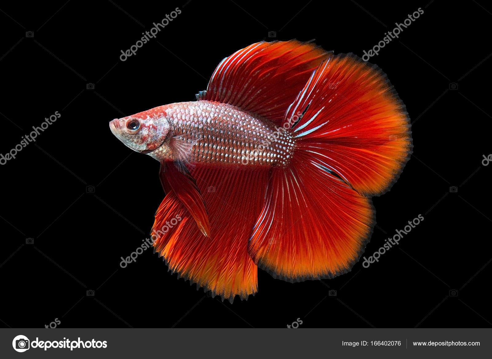 Red betta fish, siamese fighting fish on black background — Stock ...