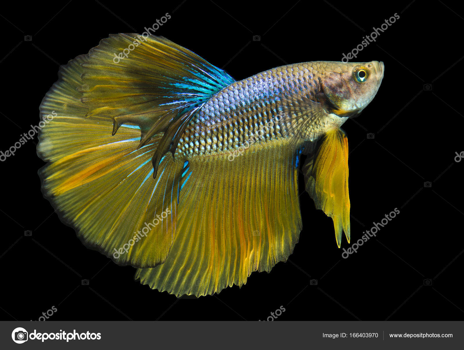 Yellow betta fish images galleries for What kind of fish can live with a betta