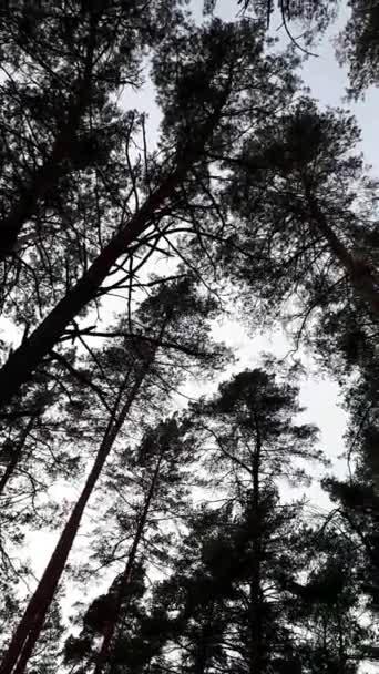 fenyőfa a háttér kék ég