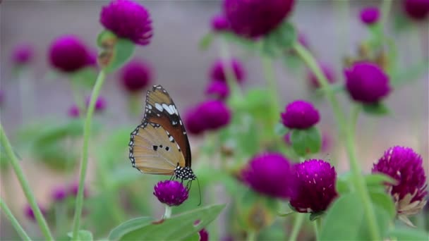Lila Gomphrena, pillangó szopás nektár
