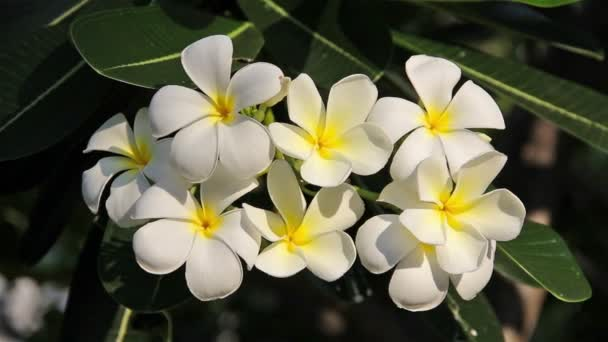 Hawaiian Plumeria flowers used to make aloha leis.