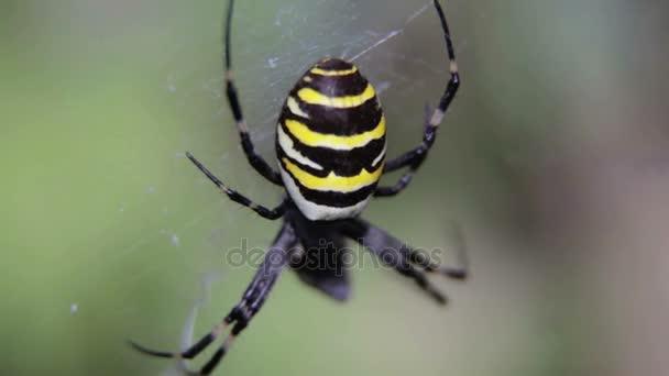 Argiopa pavouk sedí na jeho pavučina. Černá a žlutá Spider, čekání oběť. Pavouk v přírodě na rozostřeného pozadí
