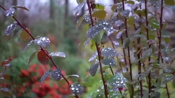 Kapky rosy po ránu na stonky trávy. Ráno ke kondenzaci vody na listy a stonky
