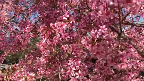 Spring Sakura season cherry Blossom