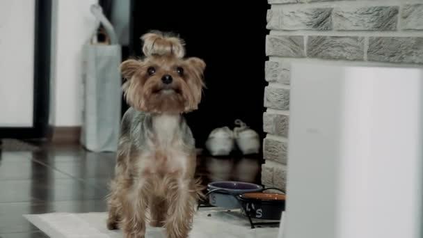 yorkshire terrier beautiful doggie