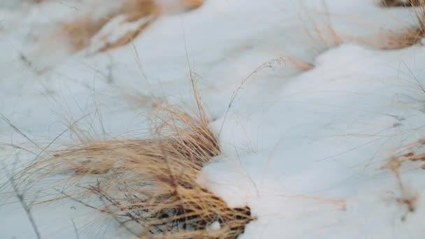 Winter. Snow přibil nažloutlou trávu, která se houpala ve větru.