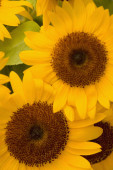 Close-up of sunflower, Cinque Terre National Park, La Spezia, Liguria, Italy