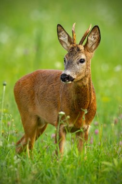 Cute roe deer, capreolus capreolus, buck in summer. Wildlife scenery of deer with vivid green blurred background. Wild animal during a fresh summer. Vertically composed portrait of animal.
