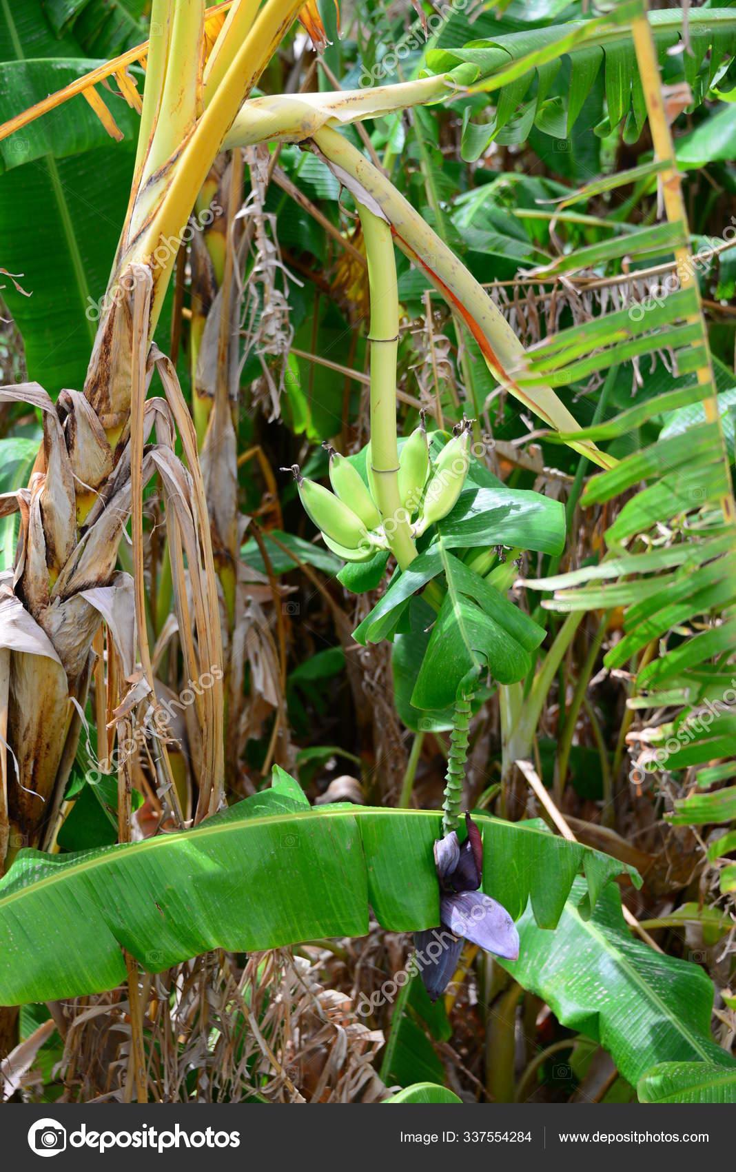 Pohon Pisang Kebun Daun Tanaman Dan Buah Buahan Stok Foto C Panthermediaseller 337554284