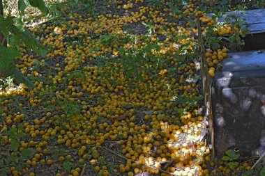 Cherry plum fruits on the earth. Maturing of fruit in a garden.