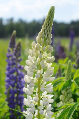 White lupine flowers in a meadow of grass. Blurred background