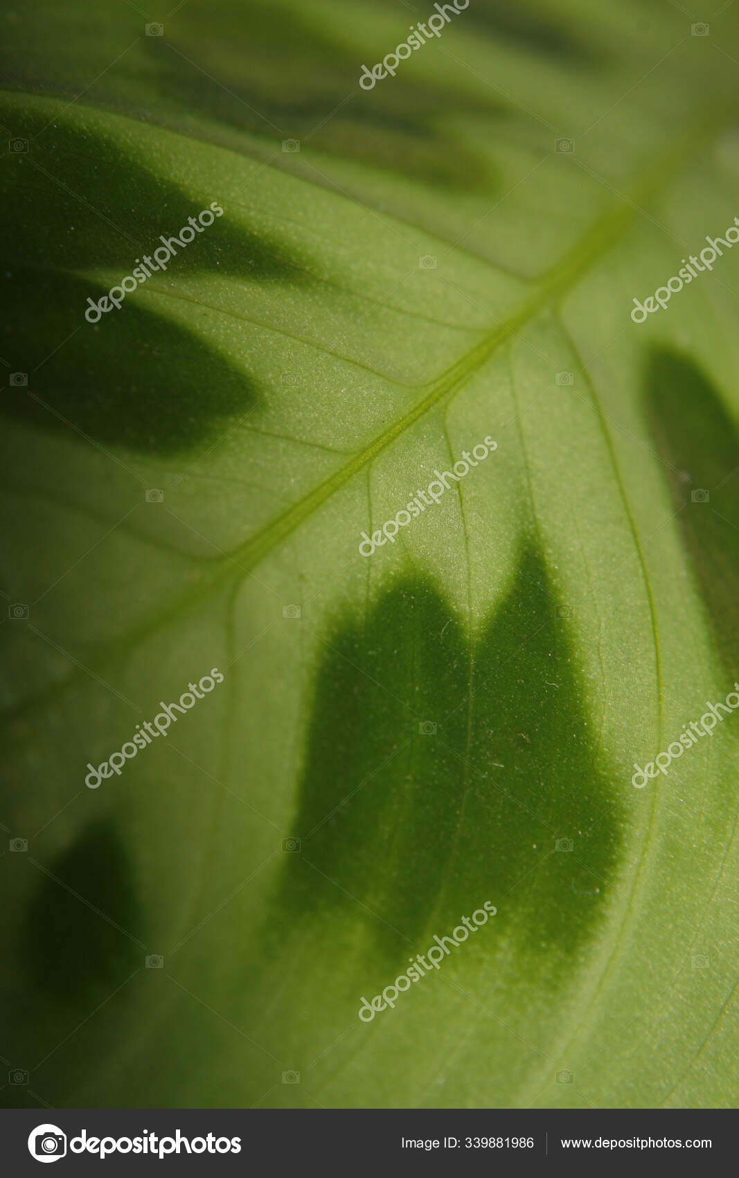 Close Prayer Plant Leaf Stock Photo C Panthermediaseller 339881986