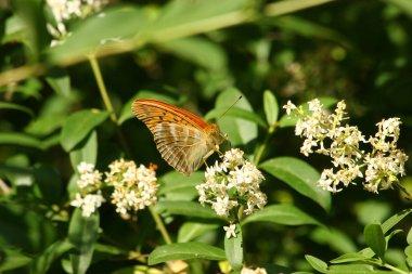 whisker (argynnis paphia),male on a flower