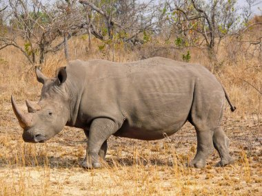 One of the rhinos under the protection of Kruger National Park.