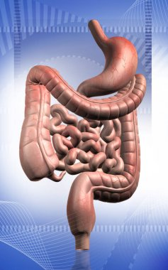 Digital illustration of human digestive system in colour background
