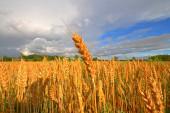 Weitwinkelbild von goldenem Kornfeld unter stürmischem Himmel im Spätsommer.