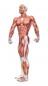 3D vykreslování mužské postavy s svalů mapuje izolované na bílém pozadí