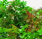 elderberries in the summer garden