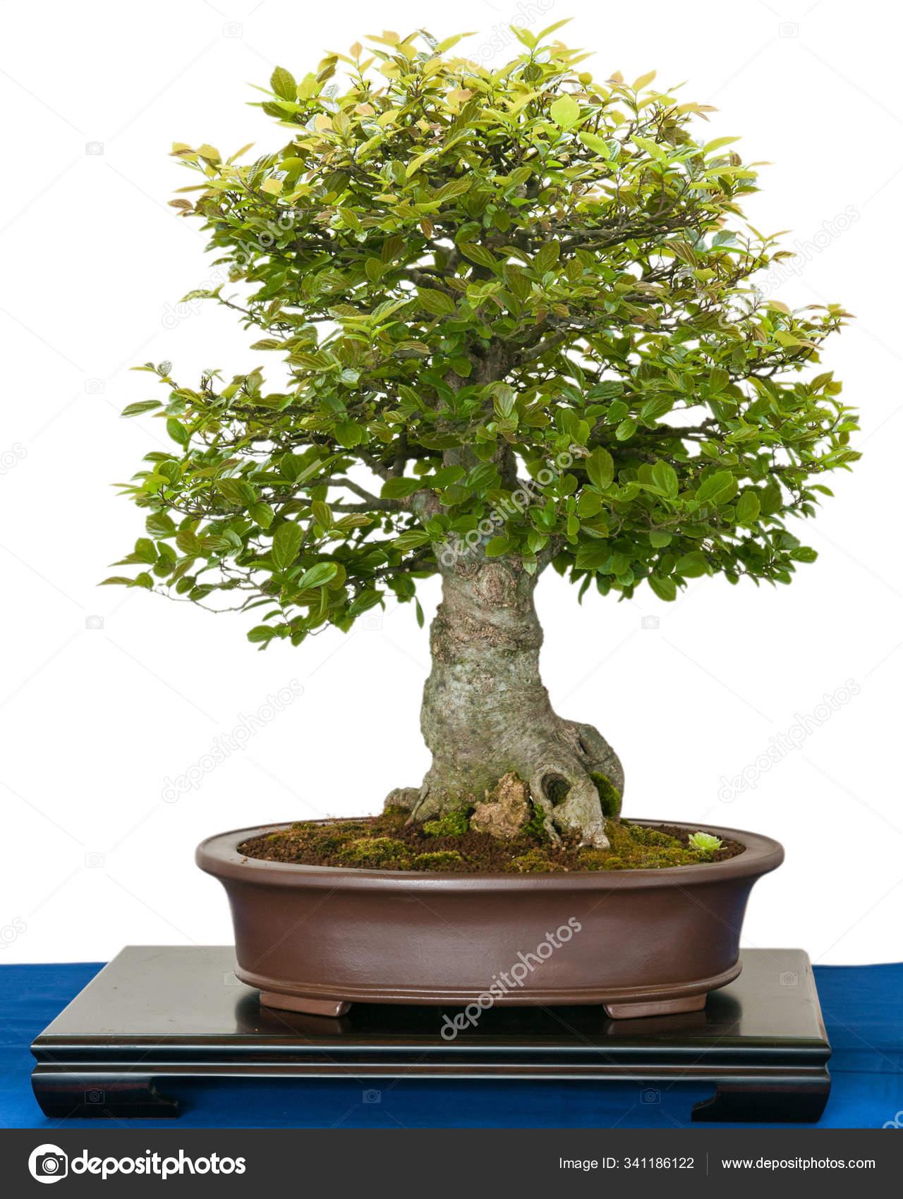 Bonsai Tree Growing Plant Stock Photo C Panthermediaseller 341186122