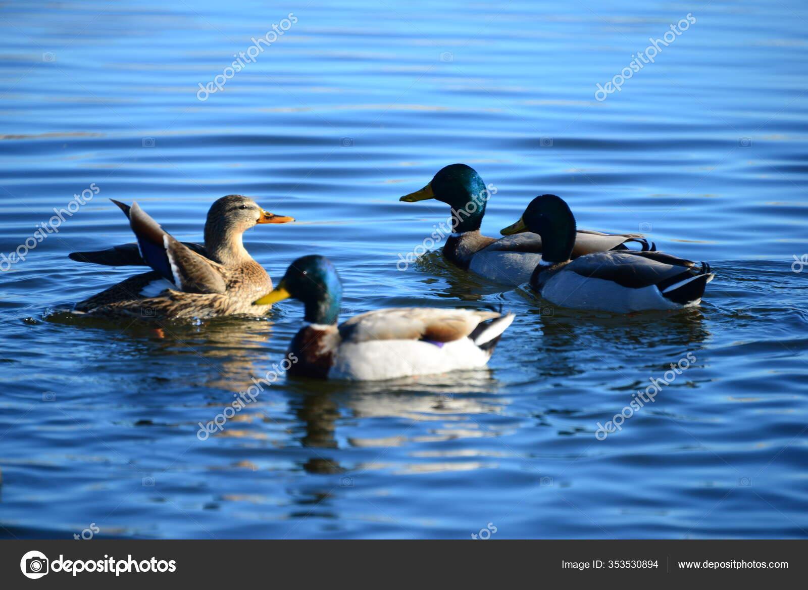 Dammen Vand Ænder Fugle Dyreliv Natur  Fauna — Stock-foto © PantherMediaSeller #353530894