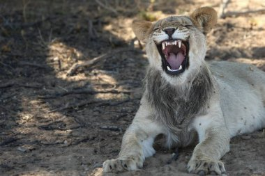 Young lion male (Panthera leo)  in Kalahari desert and looking for the rest of his pride in morning sun. Dry bush in background. Young lion portrait up to close.Lion calmly lying in Kalahri desert with open mouth and show teeth.