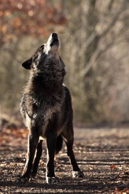 A north american wolf (Canis lupus) staying in the forest. Calm, black and big north american wolf male. Howling black wolf male.