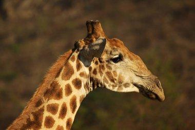 The African giraffe (Giraffa camelopardalis giraffa) making a bow to drink from waterhole on the Kalahari desert. Waterhole is on sand. A tree in the background. Portrait. stock vector