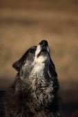 Egy észak-amerikai farkas (Canis lupus) tartózkodik a száraz fűben az erdő előtt. Üvöltő fekete farkas férfi.