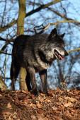 Egy észak-amerikai farkas (Canis lupus) tartózkodik az erdőben.