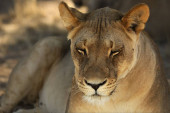 Lioness (Panthera leo)  in Kalahari desert and looking for the rest of her pride.