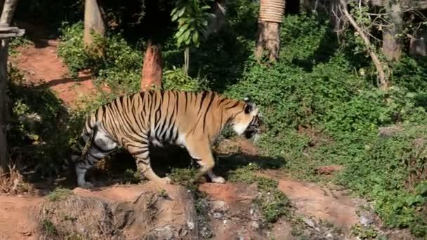 kilátás tigris az állatkertben, vad állat koncepció