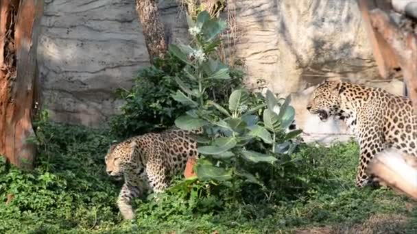 view of leopards in zoo, wild animals concept