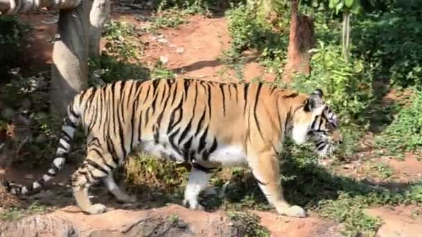 view of tiger in zoo, wild animal concept