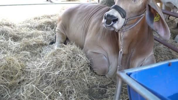 zblízka krav na farmě, zemědělská koncepce