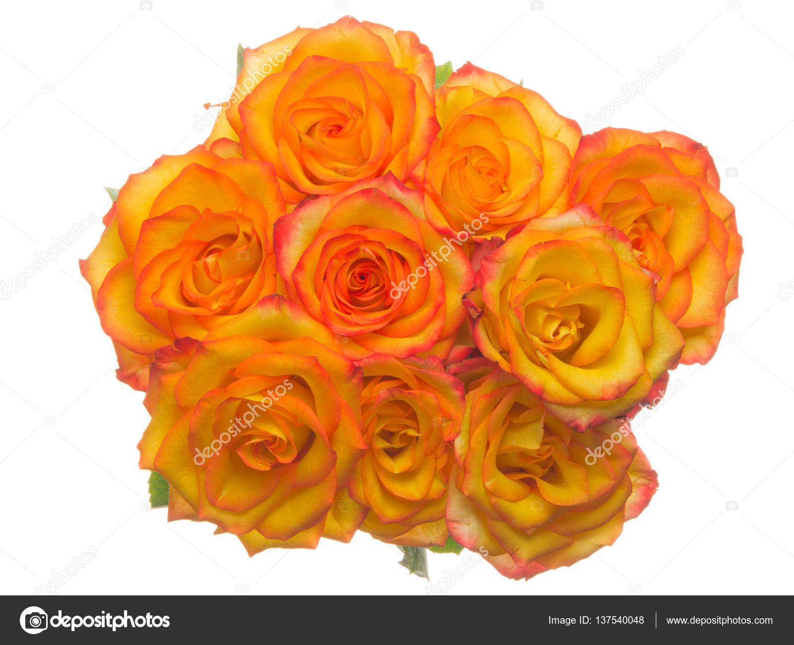 Unusual Roses On A White Background Stock Photo Andreevaee