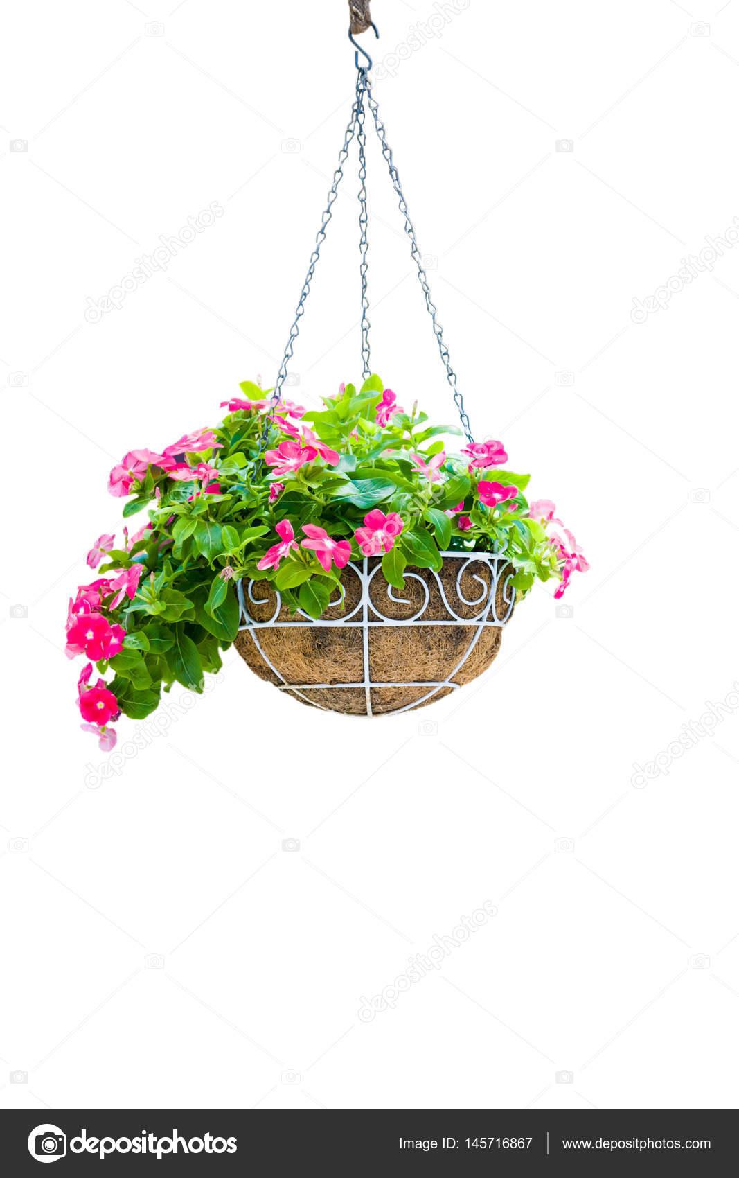 Rosa Jardinera Colgante Aislamiento En Fondo Blanco Fotos De Stock - Jardinera-colgante