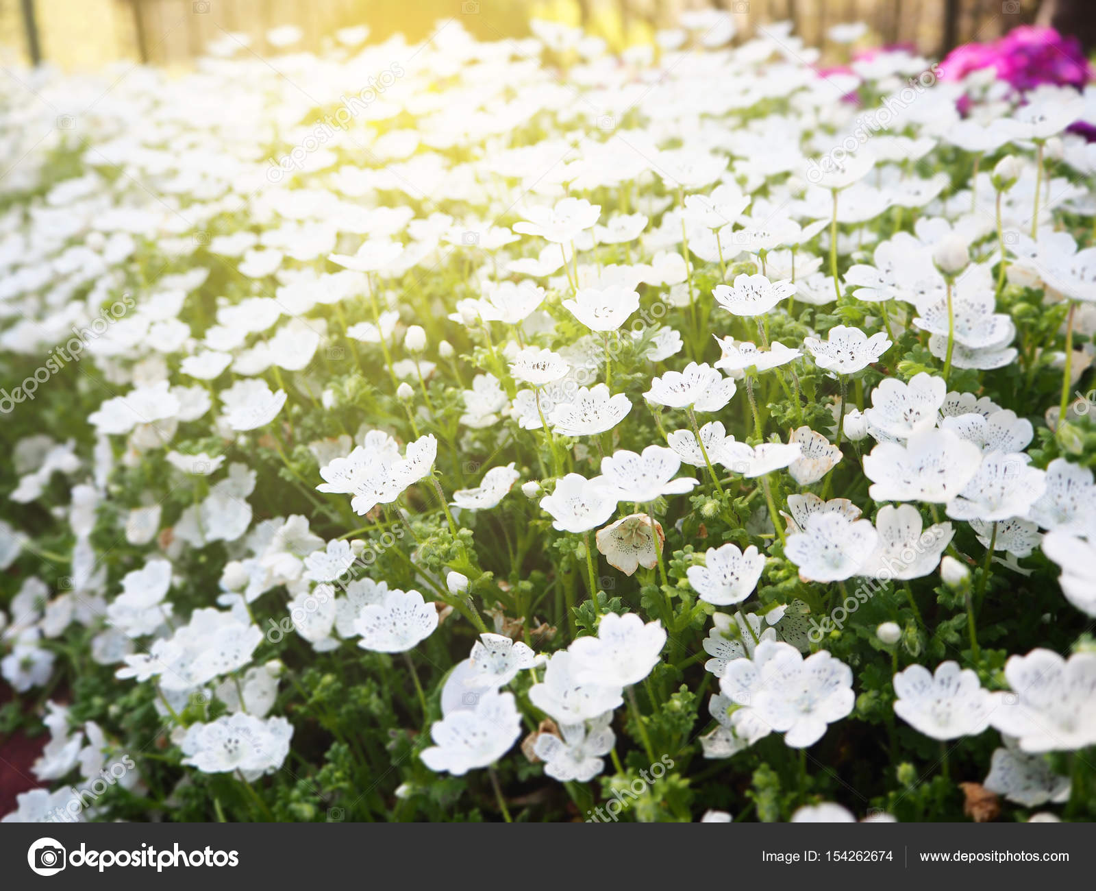 White Flower Bed In The Garden Stock Photo Aaa187 154262674