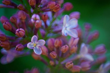 Photograph of branches of lilac. Beautiful wild flowers.