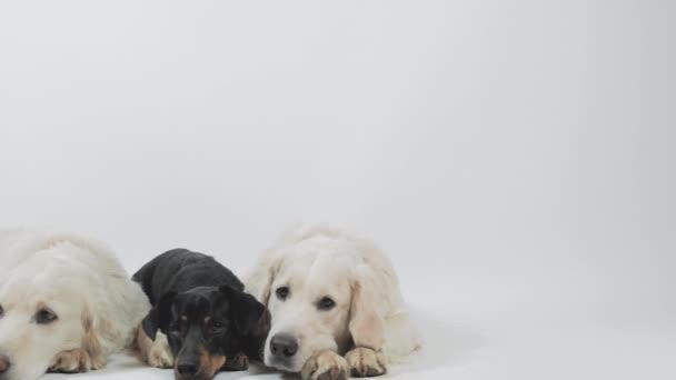 Két golden retriever és tachshund türelmesen várja a parancsot.