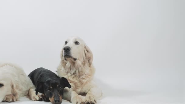 Two golden retriever and dachshund patiently await an order.