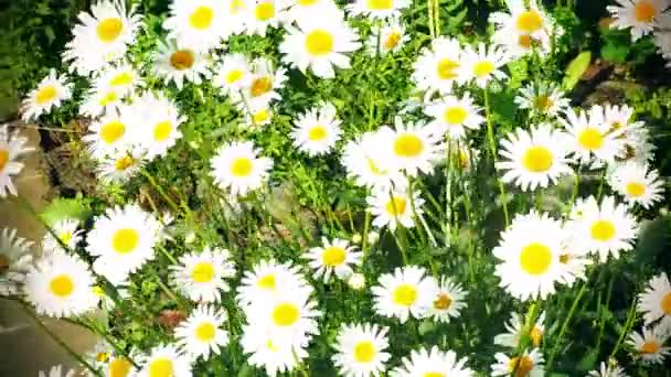 The blooming chamomile is illuminated by bright sunlight and sways in the wind.