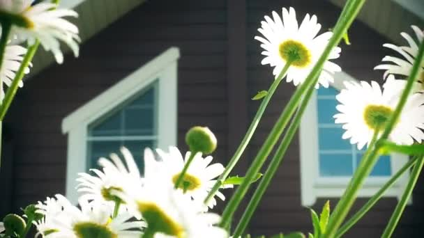 Bílé sedmikrásky se houpají ve větru v zahradě u domu